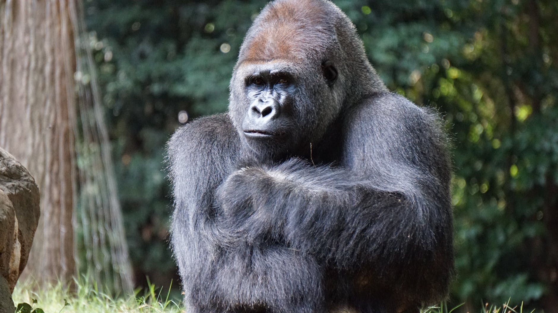 In Memory Of Harambe: 5 Facts About Gorillas You Probably Didn't Know