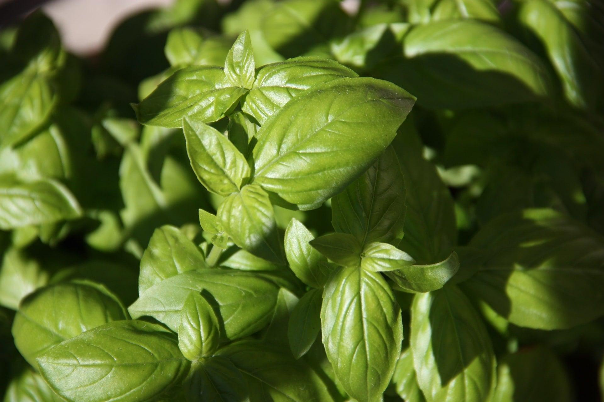 Basil - edible plants to grow