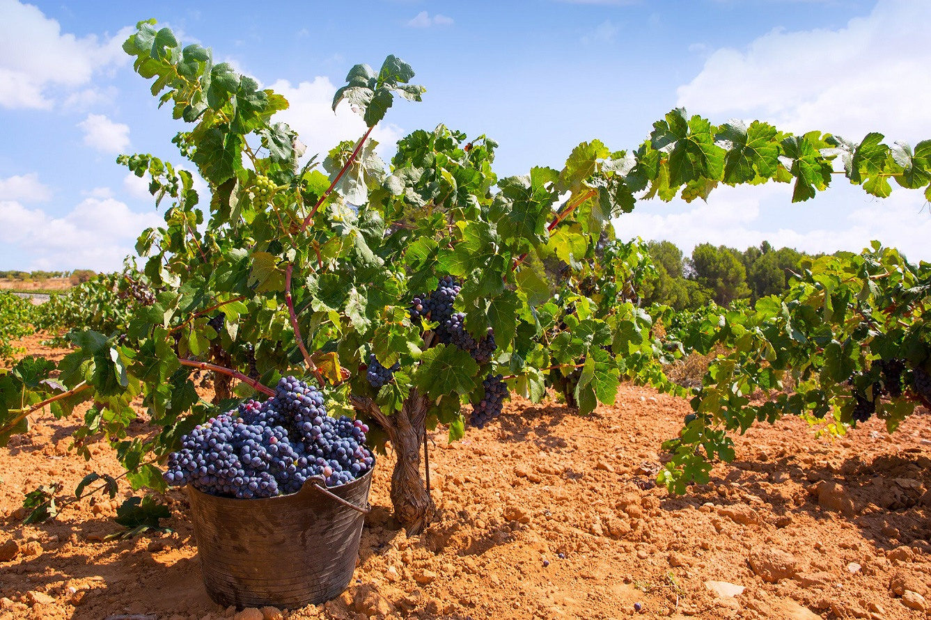 As Harvesting Begins In Champagne, Over Half The Grapes Have Already Been Lost